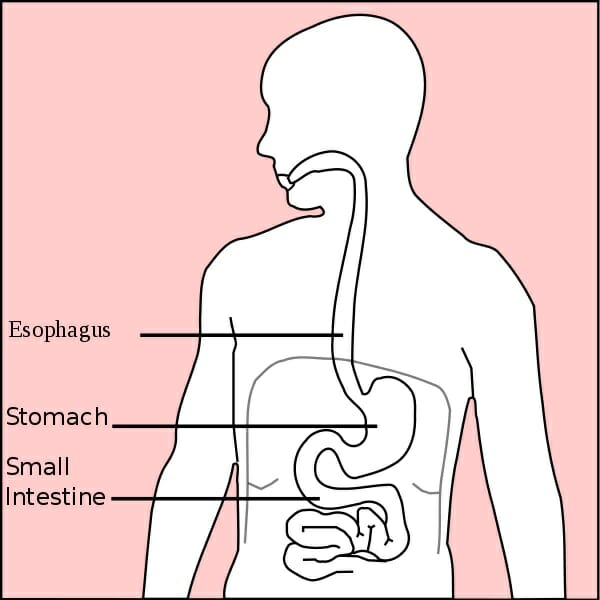 Stomach (Anatomy) Definition, Function, Structure Biology Dictionary