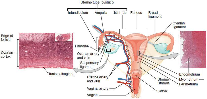 Uterus (Anatomy) Definition, Function, Location Biology Dictionary