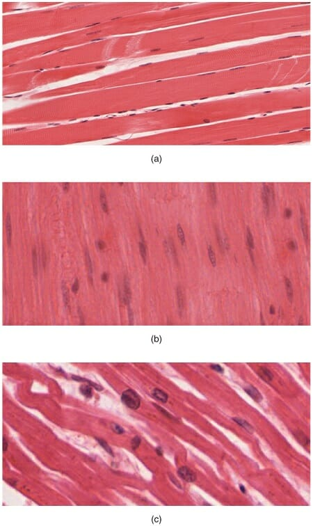 Muscle Tissue - Definition, Function and Types Biology Dictionary