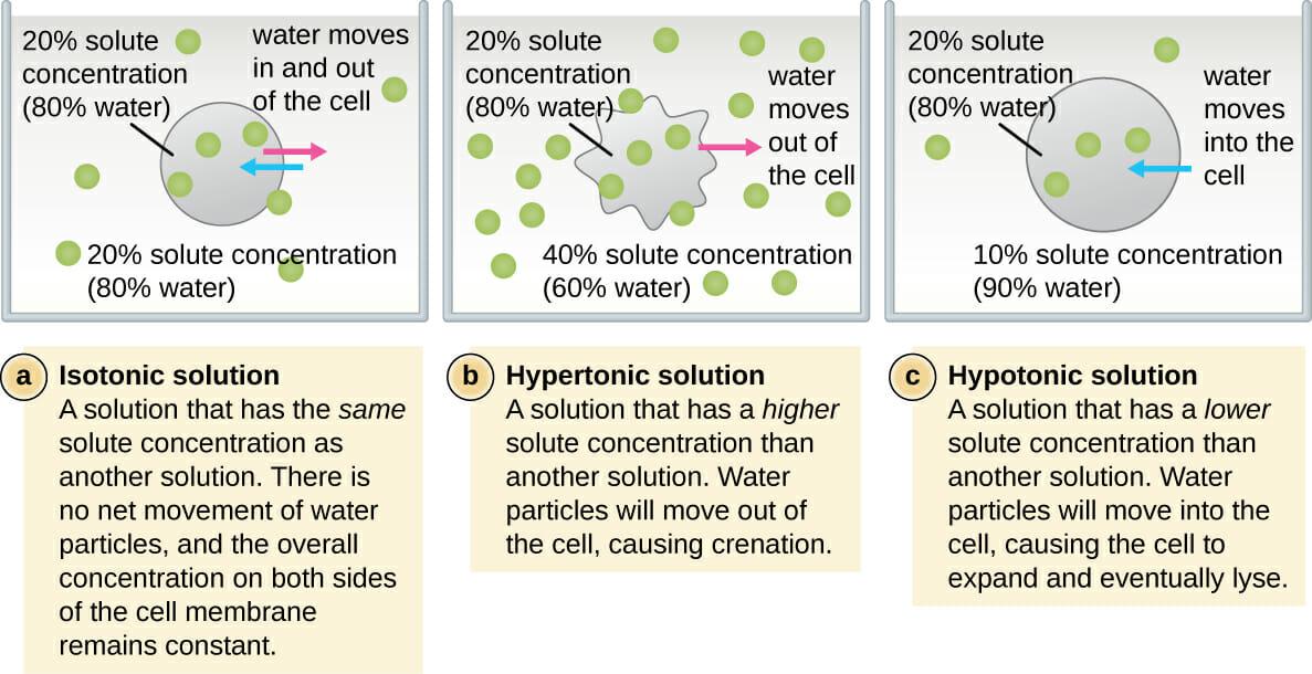 Isotonic vs Hypotonic vs Hypertonic Solution Biology Dictionary