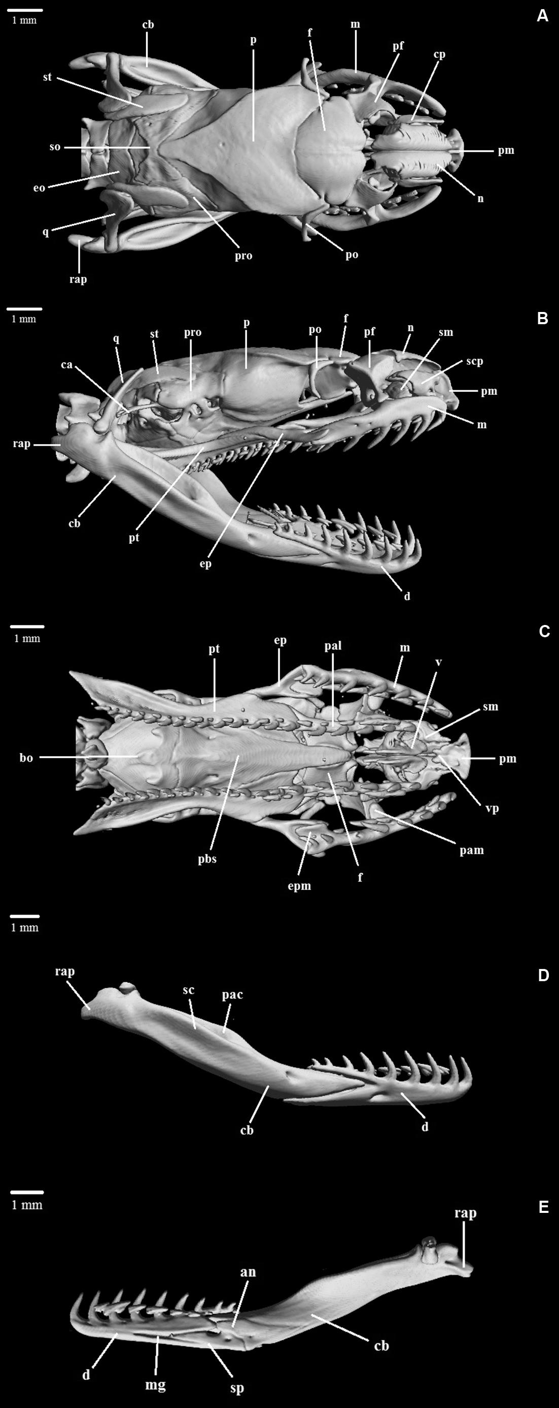 Decoration Marine Nationale Taxonomy Morphology And Distribution Of Atractus Flammigerus