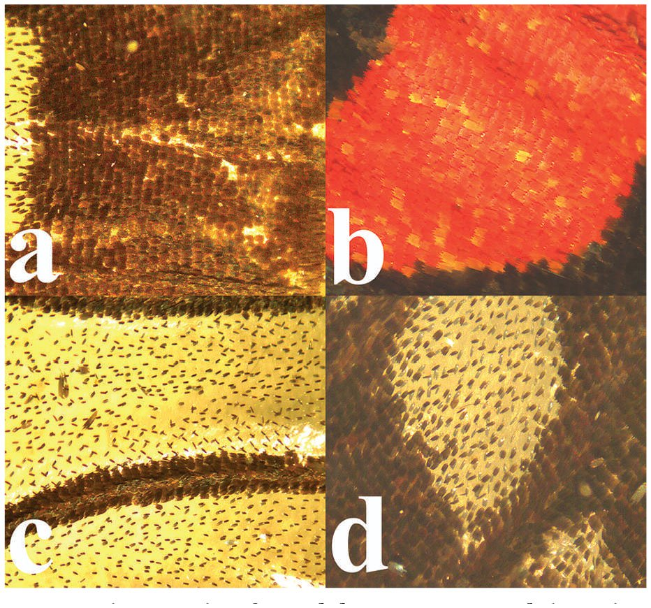 Transparant Zeil Met Ringen Coloration And Structure Of The Wings Of Chorinea Sylphina Bates
