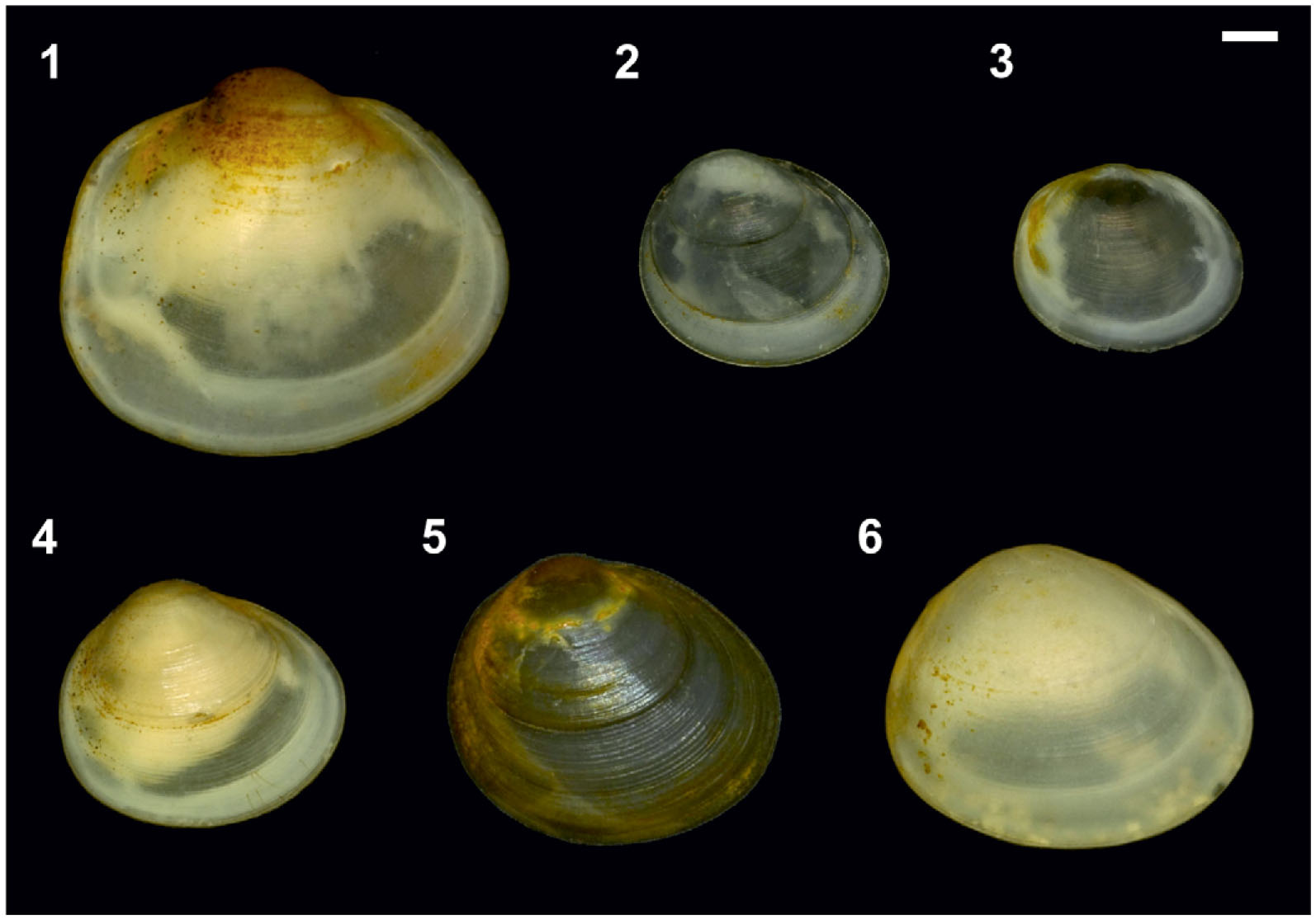 Ess Erfurt Molecular Phylogeny And Biogeography Of A High Mountain Bivalve