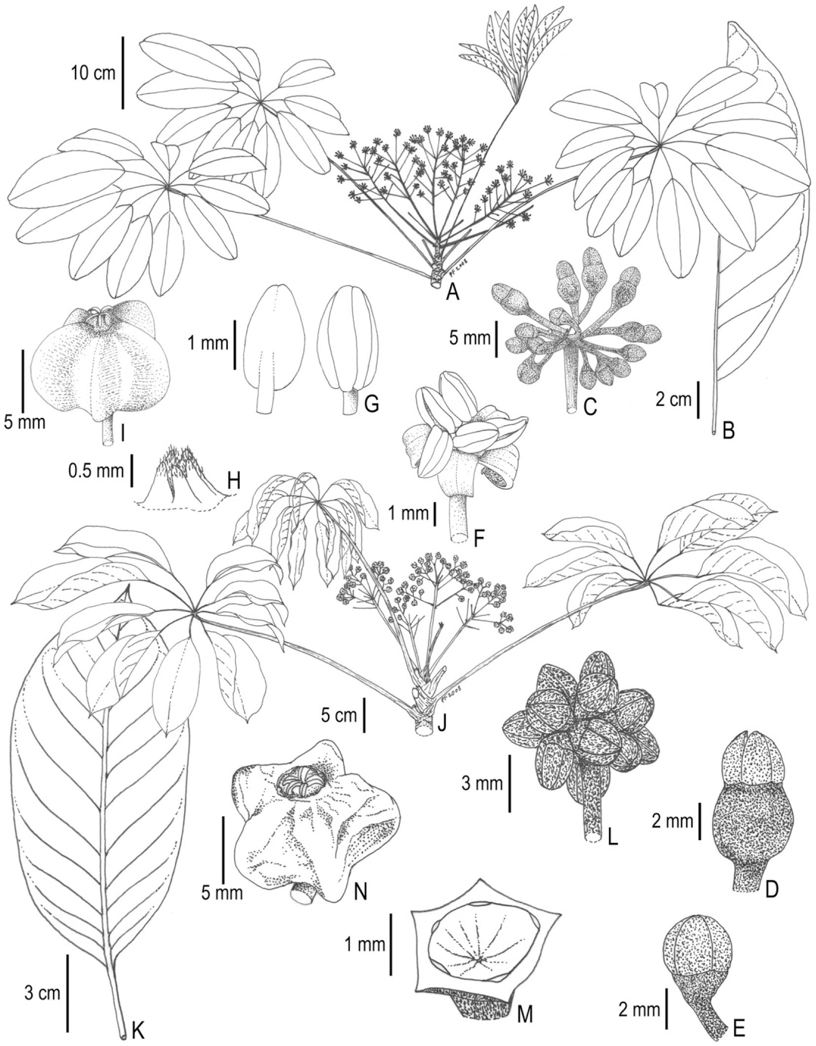 Arte Verde Volta Redonda Revision Of The Didymopanax Group Of Neotropical Schefflera