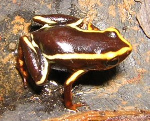 •	: Eleutherodactylus iberia: According to our results, this Critically Endangered frog is not adequately covered by the Cuban Protected Areas (Photo by Ansel Fong).