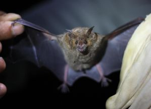 Carollia perspicillata is a common, fruit-eating bat across much of Latin America, but people sometimes confuse it for a vampire bat, exacerbating human-bat conflict.