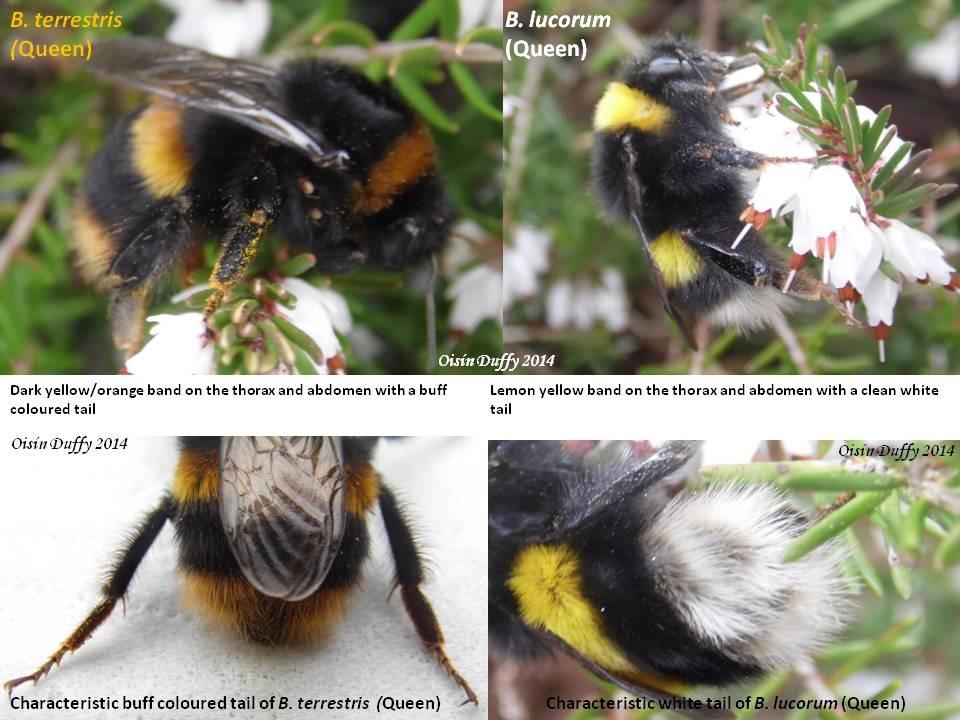 White-tailed Bumblebee (Bombus lucorum) \u2014 ID Guide - BioWebie