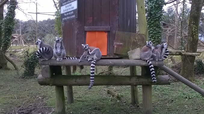 Our resident troop of Ring-Tailed Lemurs… if only they'd stay there.