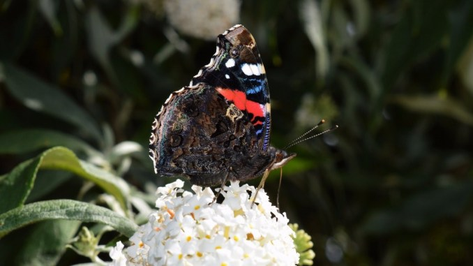 A beautiful fresh example of a Red Admiral, showing that the undersides of butterflies can be even more interesting than the top – Oisín Duffy