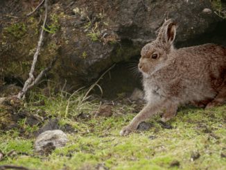 victorias-hare