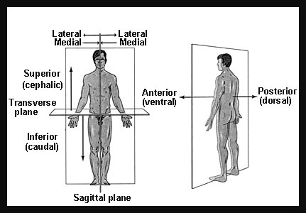 Terms 2 - anatomical position