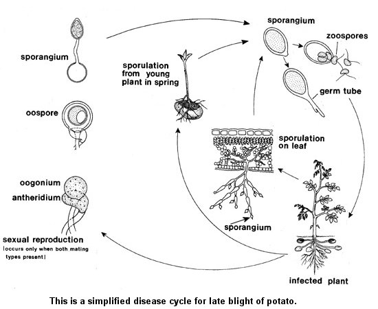 parts of a tomato plant diagram tomato plant growth cycle brown rot