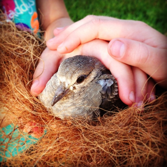We found an injured young dove on the ground and…