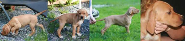 English Pointer, breeder, puppy