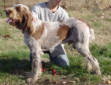 Giglio sire for Larch's 2011 Spinoni Litter