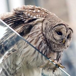 web-barred-owl-7354