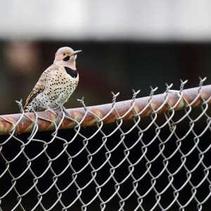web-northern-flicker_1565