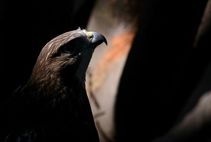 hawk-noir-714_2247
