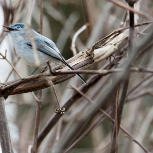 Blue-gray Gnatcatcher, Fannie Stebbins Wildlife Refuge in Longmeadow, April 24, 2015