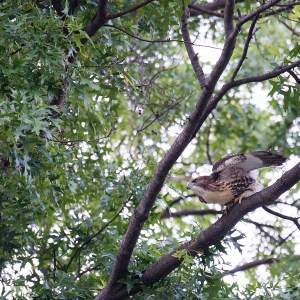 Red-tailed Hawk fledgling, Veterans Park, June 29, 2015