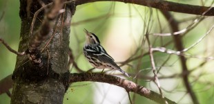 Black-and-white Warbler, Sept. 11, 2015