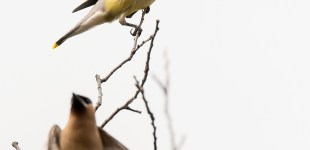 Cedar Waxwings, Sept. 11, 2015