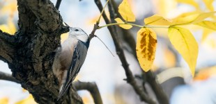 White-breasted Nuthatch, Oct. 18, 2015