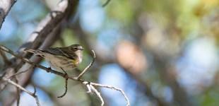 Yellow-rumped Warbler, Oct. 18, 2015