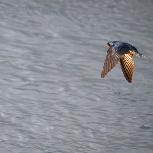 Barn swallow, second-level canal