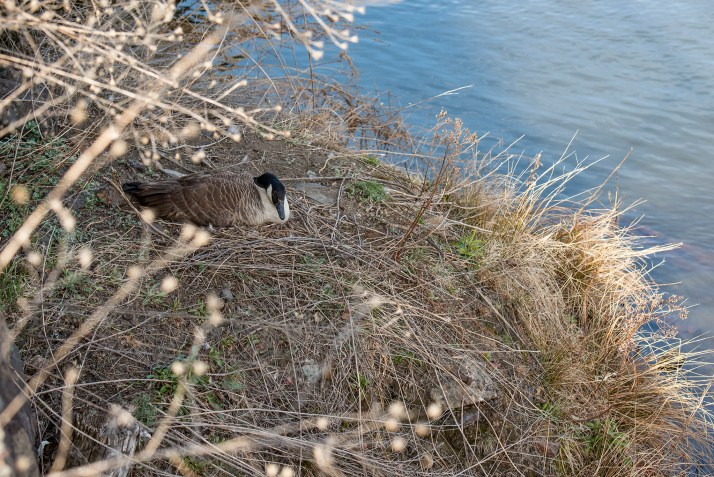 A Canada goose on a nest at Holyoke's second level canal. Geese have nested on this stretch of the canal -- and often in this spot -- since at least 2012.