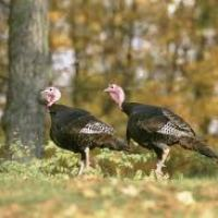 What Do Wild Turkeys Eat - Wild Turkey Diet