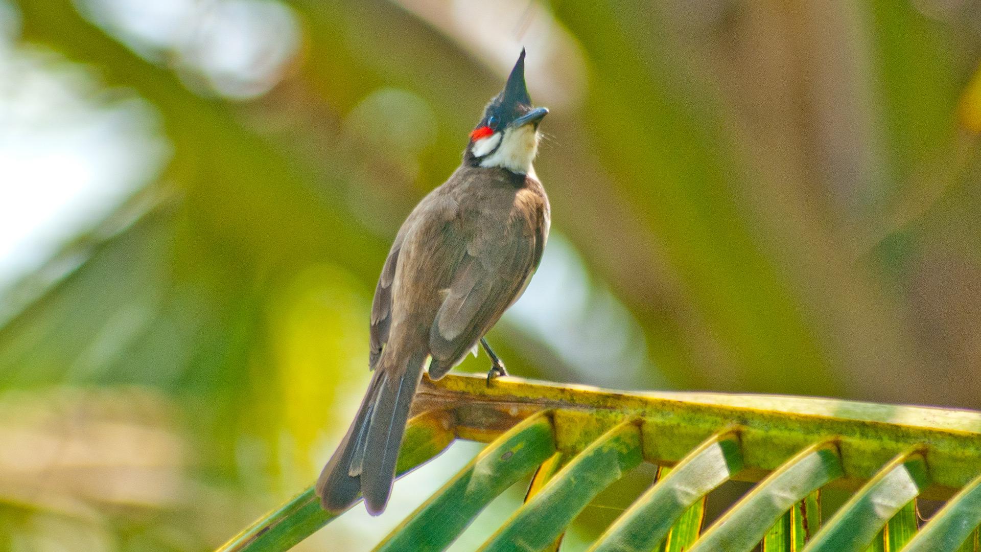 Cute Duck Hd Wallpaper Red Whiskered Bulbul Birds Of Kerala