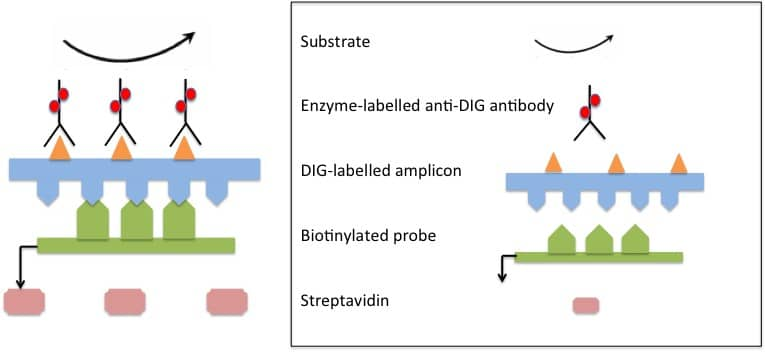 Polymerase chain reaction-enzyme-linked immunosorbent assay (PCR