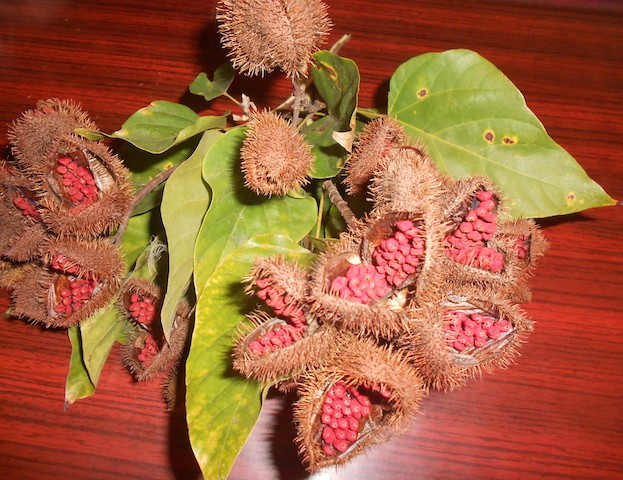 Bija pods as harvested from the Bixa orellana tree. biteslife.com