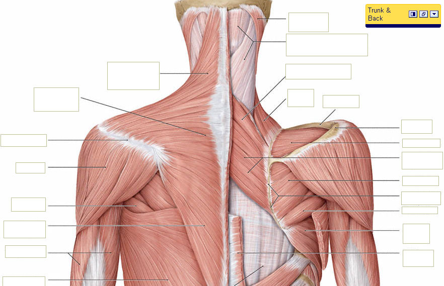 ○YOUR BACK  NECK MUSCLES \u2013 WHAT THEY LOOK LIKE BIZLINKS