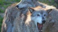 Gray_wolf_pair_(6862200695)