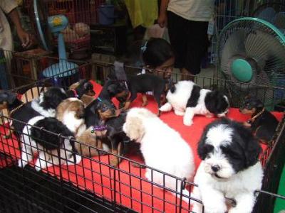 タイで売っている超カワイイ生の子犬さんたち