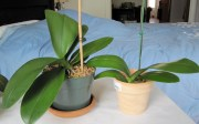 Healthy phalaenopsis orchid leaves