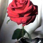 薔薇をもらってしまった
