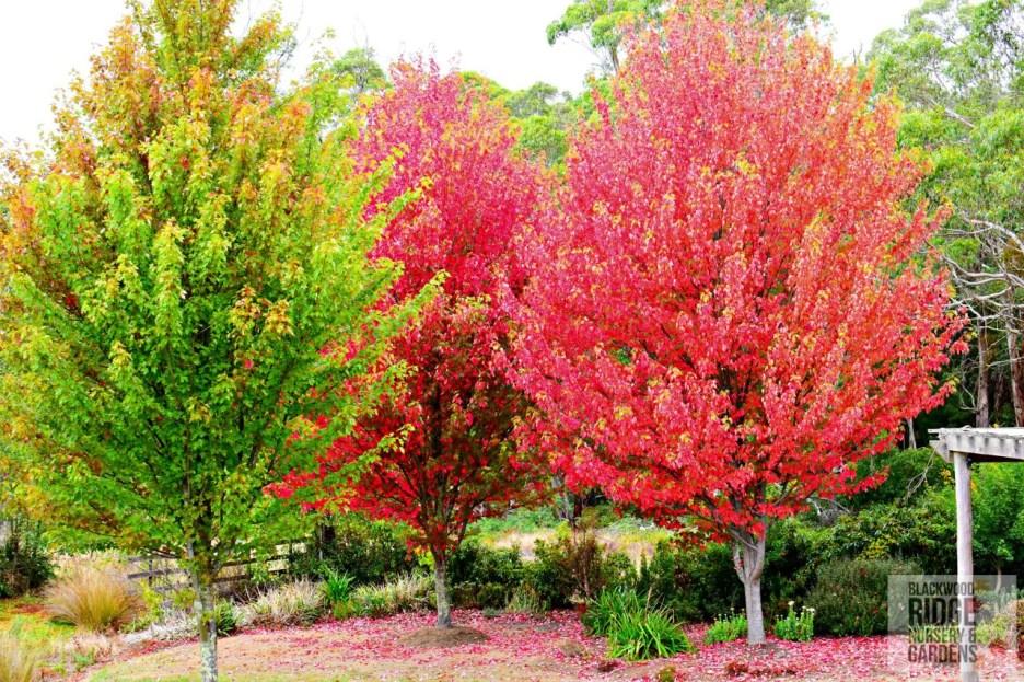 Acer freemanii 'Jeffersred' trio Autumn