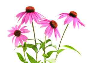 Echinacea has gained popularity in recent years as a remedy for the common cold. But because it is not regulated as a medical drug by the FDA -- and given the variation between dosages and formulations available to consumers -- it is difficult to get definitive answers as to its effectiveness. (iStock)