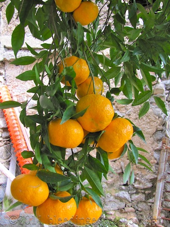 One of our mandarin trees, early December