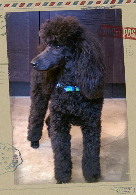 Gabe - a mini poodle at 8 months