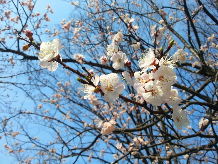 Ume (Japanese apricot) flowers blossom in front of Itoigawa City Hall