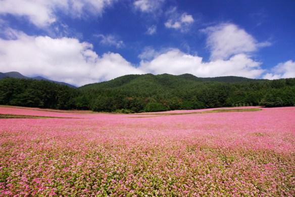 ✿丹波市 秋風に揺れるじゅうたん 紅色ソバの花満開 きれいなピンクが美しい 【おまけ動画あり】( *´ω`*)