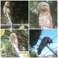 【画像あり】 なんとベネズエラで 「謎の鳥」 が発見される!! ブサ可愛いwwwwwwwww