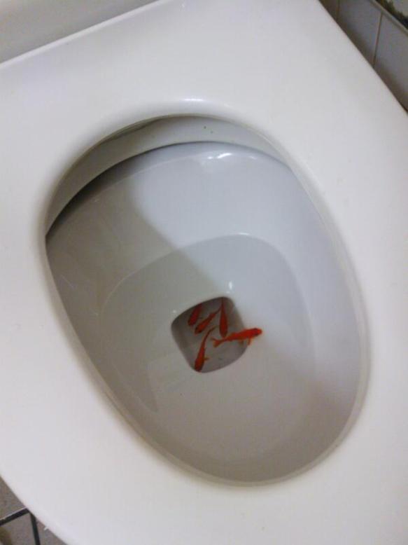 【画像】ファミマのトイレに金魚が泳いでいた件