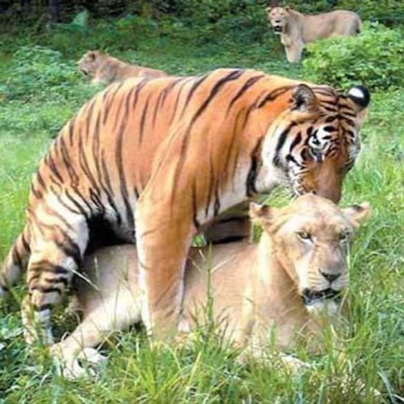 【画像】ライオンと虎のセ○クス糞ワロタwwwwwwwwwwwww