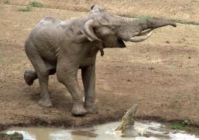 【画像あり】鼻をワニに噛まれた象の顔wwwwwwwwwww