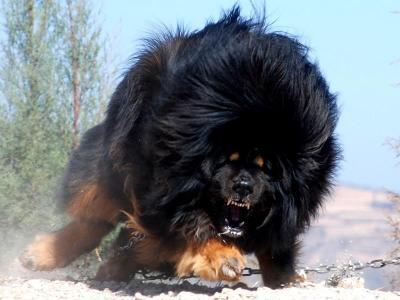 【驚愕】世界最強の犬がヤバイwwwwwwww怖すぎwwwwwwww(画像あり)
